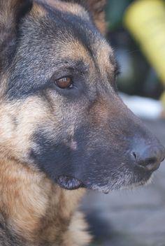 Verwonderlijk 43 beste afbeeldingen van Duitse Herder in 2020 - Honden, Duitse IJ-64