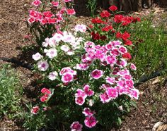 Dianthus Seeds Ideal Select Magical Mix 500 Bulk Seeds