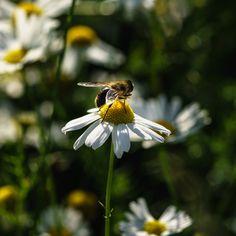 A fly sitting on a oxeye daisy (Leucanthemum vulgare) Wildlife Art, Daisy, Stock Photos, Nature, Image, Naturaleza, Margarita Flower, Daisies, Nature Illustration