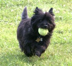 I miss my Cailie. She loved tennis ball chasing too.    cairn terrier