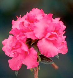 Azalea Pink Ruffles H x W Shade to part shade Lush Green, Green Leaves, Ruffles, Nursery, Rose, Flowers, Plants, Pink, Room Baby