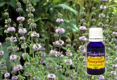 Pennyroyal Essential Oil (Mentha pulegium) for aromatherapy, skin care and natural perfumes. Tinderbox: supplying pure essential oils since Blue Glass Bottles, Citronella, Insect Repellent, Pure Essential Oils, Raw Materials, Geraniums, Earthy, Aromatherapy, Herbalism