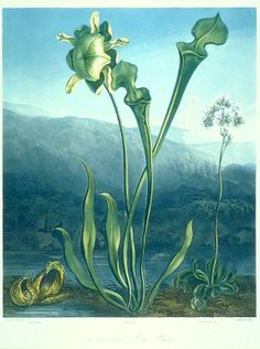 American Bog-Plants - Including a Pitcher Plant - circa early 19th century