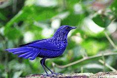 Blue whistling Thrush - Myiophonus caeruleus