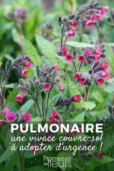 Are you looking for an excellent and generous ground cover to brighten shade or partial shade in the early spring? Perennial Ground Cover, Spring Starts, Plantar, Small Gardens, Permaculture, Shade Garden, Geraniums, Diy Flowers, Herb Garden