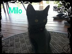 Hi guys this is milo, my cat, he be so cute!!( please no repins!!)