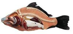 SOMSO Model of the Anatomy of a Bony Fish http://www.gtsimulators.com/SOMSO-Model-of-the-Anatomy-of-a-Bony-Fish-ZoS-105-p/zos105.htm