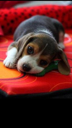 The Beagle puppy ~ a wonderful family pet and one of America's favorite dog breeds. An excellent hunting dog with the merriest of personalities, happy and friendly.