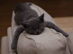 This looks just like my Gracie, a Russian Blue. She's full grown, 2yrs old, weighs 4 pounds...pitite little cat with a tiny little voice!