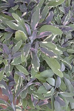 Tricolor Sage - Monrovia - Tricolor Sage Ornamental herb with colorful grayish green leaves marbled with white, pink and purple. Lavender blue flower spikes appear in summer. Strongly aromatic foliage may be used fresh or dried in cooking. Attractive to bees and butterflies. Ideal for herb gardens, mixed borders and containers.