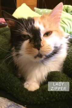Love this face on Lady Zipper rescued from Butts Cty Ac -now fully vetted & ready to find her forever home--Petsmart 1950 Jonesboro Rd Mcdonough in Henry cty GA --interested in this beautiful girl? Email wingingcat08@gmail.com for adoption application