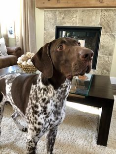 "Get fantastic pointers on ""pointer puppies"". They are actually readily available for you on our site. Gsp Puppies, Pointer Puppies, Pointer Dog, Hiking Dogs, Purebred Dogs, German Shorthaired Pointer, Pet Dogs, Doggies, I Love Dogs"