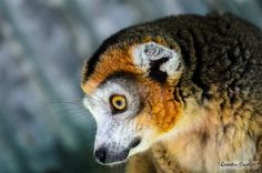 Crowned Lemur by Quentin CUVELIER on 500px