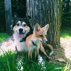 Do you remember Juniper, the pet fox who is smiling all the time? She and an Australian Shepherd mix Moose Fox Dog, Dog Cat, Animals Beautiful, Beautiful Creatures, Animals And Pets, Cute Animals, Unlikely Friends, Wild Dogs, Tier Fotos