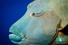 napoleon fish - Google 検索