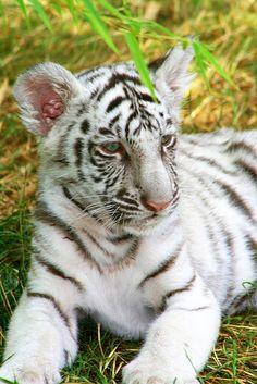Proud Tiger | Flickr - Photo Sharing!