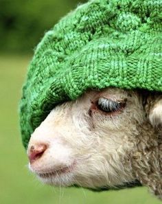 Lamb with a green wool hat.