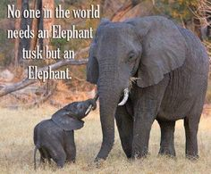 No one needs an elephant's tusk except the elephant! Body parts should be removed from anyone caught stealing tusks. How about a foot for each tusk stolen! World Elephant Day, Elephant Love, Elephant Pics, Elephant Quotes, Quotes About Elephants, Elephant Images, Elephant Walk, Elephant Trunk, Animals And Pets