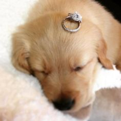 Puppies and diamond engagement rings! Ring by Henri Daussi. Neil Lane Engagement, Engagement Ring Settings, Engagement Ideas, Ring Engagement, Engagement Pictures, Insta Look, Marriage Proposals, Wedding Proposals, Designer Engagement Rings