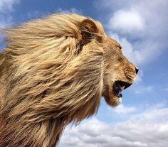 Roar for the lion #BanCannedHunting #SaveTheLionCourtesy of Kevin Richardson