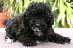 6 Schnoodle Top 10 Cutest And Most Popular Mixed Dog Breeds You ll Love To Own Schnoodle Puppies For Sale, Schnoodle Puppy, Cute Dogs Breeds, Dog Breeds, Mixed Breed, Beautiful Dogs, Fur Babies, Animal Babies, I Love Dogs