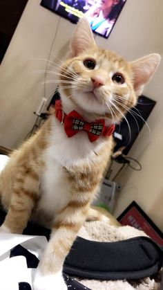 Cute Overload: Internet`s best cute dogs and cute cats are here. Aww pics and adorable animals. Kittens Cutest, Cute Cats, Two Different Colored Eyes, Grey Tabby Cats, Brighten Your Day, Bridal, Cute Animals, Kitty, Bows