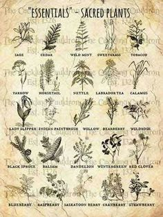 essentials herbs/ sacred healing herbs of First Peoples Healing Herbs, Medicinal Plants, Herbal Plants, Sacred Plant, Sacred Garden, Witch Herbs, Wicca Witchcraft, Green Witchcraft, Magick Spells