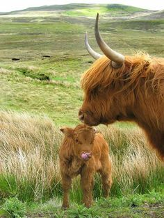 Scottish Highland cow and her calf