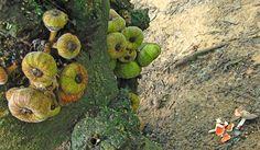 figueira-de-jardim (Ficus auriculata)