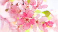 Pink apple flowers bloom wallpaper 1920x1080 Full HD