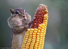 The cheeky chipmunk pounced on the corn on the cob minutes after photographer Barbara Lynne hung it in her back garden for the birds