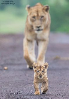 Future Leader A very young lion cub , with its eyes locked on me, leads the way down a road in Kruger National Park, South Africa with its mother following in close pursuit. This is one of five cubs from this Lioness which I photographed early morning in wet overcast conditions. by Hendri Venter