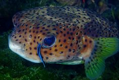 https://flic.kr/p/aDZpNU | Porcupinefish at the Cleaning Station | Wrasse cleaning the eye....