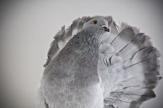 indian fantail pigeons for sale - Google Search