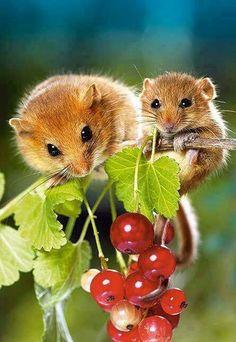 2 mice on grape vine