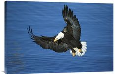 http://www.explosionluck.com/products/bald-eagle-flying-over-water-kenai-peninsula-alaska