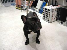Mr.Kotetsu, French Bulldog ❤