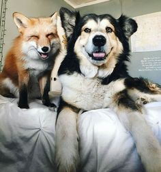 Juniper The Pet Fox Becomes Best Friends With a Dog