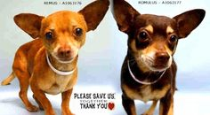 SAFE❤️❤️ 4/8/16 PLEASE KEEP HIM FOREVER❤️ RETURNED 04/04/16 house soil --- SAFE 1-21-2016 --- Manhattan Center REMUS – A1063176 MALE, BROWN, CHIHUAHUA SH MIX, 6 yrs STRAY – STRAY WAIT, NO HOLD Reason STRAY Intake condition UNSPECIFIED Intake Date 01/17/2016  HAMILTON aka REMUS – A1063176 | Help us Save NYC AC&C Shelter Dogs