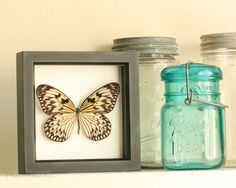 Framed Butterfly Display Rice Paper Real Butterfly door BugUnderGlass op Etsy https://www.etsy.com/nl/listing/45279437/framed-butterfly-display-rice-paper-real