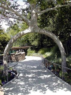 Two legged Circus Tree. Alex Erlandson was very secretive and refused to reveal his methods on how to grow the Circus Trees (he even carried out his graftings behind screens to protect against spies!) and carried the secrets to his grave.    The trees were later bought by millionaire Michael Bonfante, who transplanted them to his amusement park Bonfante Gardens in Gilroy in 1985.