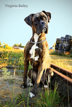 Boxer Dogs My Brutus - We found these abandoned railroad tracks in Snohomish and decided to see if I could get some cute portraits of him. He did so good again off his leash! Boxer And Baby, Boxer Love, Boxer Puppies, Dogs And Puppies, Doggies, Chihuahua Dogs, Boxer Americano, Boxers, I Love Dogs