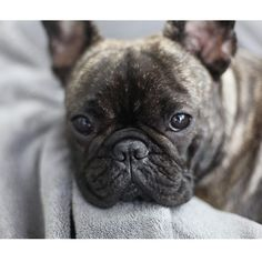 """Click visit site and Check out Best Frenchie Shirts. This website is excellent. Tip: You can search """"your first name"""" or """"your favorite shirts"""" at search bar on the top. #Abyssinian #Cat"""