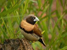 Chestnut Breasted Mannikin - photo by Ian Thomas, via Flickr; an Australian bird; sometimes called Bully Bird