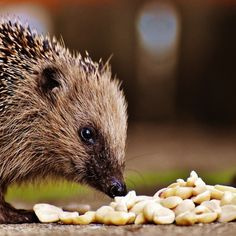 How to Create a Hedgehog-Friendly Garden Funny Hedgehog, Pygmy Hedgehog, Hedgehog Pet, Free Pictures, Free Photos, Free Images, Funny Cats, Funny Animals, Cute Animals