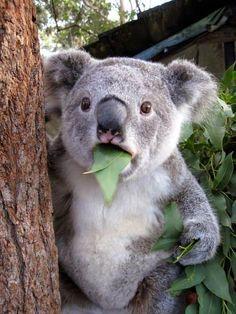 Koala qui est estomaqué par ce qu'il voit