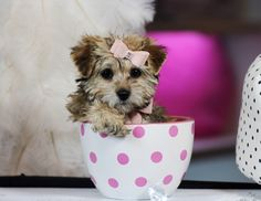 ♥♥♥ Teacup Morkie! ♥♥♥ Bring This Perfect Baby Home Today! Call 954-353-7864 www.TeacupPuppiesStore.com <3 <3 <3 TeacupPuppiesStore - Teacup Puppies Store Tea Cup Puppies Store - TeacupPuppiesStore.com