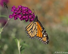 Monarch Butterfly by Barb D'Arpino on 500px