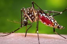 A febrechikungunya é a nova ameaça à saúde do brasileiro.
