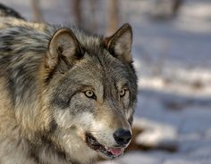 wolves-008 | © 2005 Don Biresch -- use or distribution of th… | Flickr